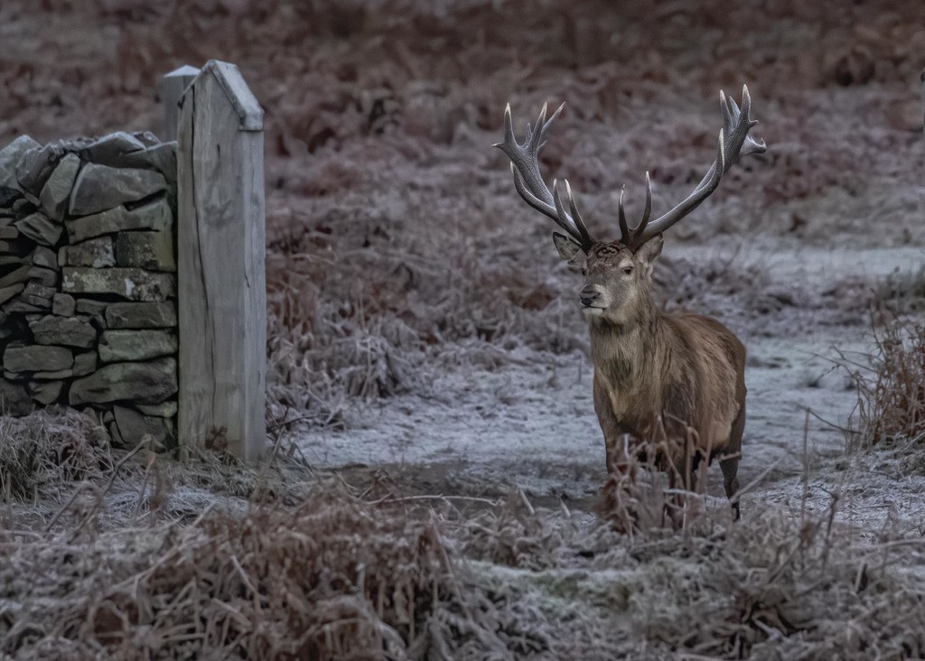 Stag at Bradgate Park by shepherdmanswife