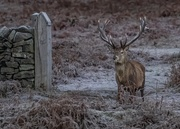 3rd Jan 2021 - Stag at Bradgate Park