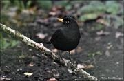 3rd Jan 2021 - Bobbie Blackbird