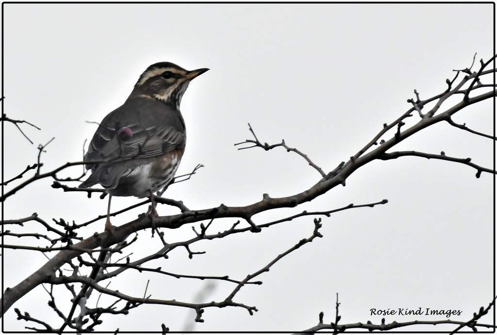 My first redwing by rosiekind