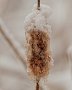 3rd Jan 2021 - frozen cattail