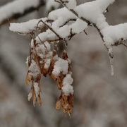 3rd Jan 2021 - snow covered maple seeds