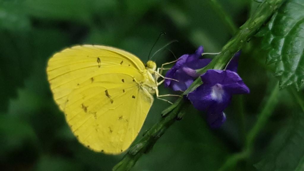 Lemon Migrant Butterfly by julianneovie