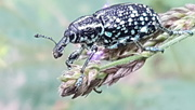 24th Dec 2020 - Diamond Weevil