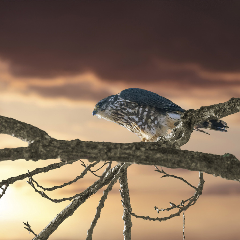 Merlin Falcon on the Lookout by mikegifford