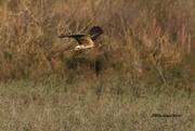 3rd Jan 2021 - LHG-7063 Harrier on the hunt