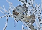 3rd Jan 2021 - Hawk