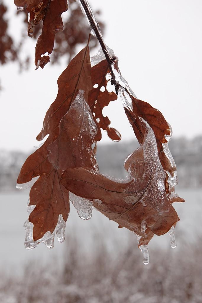 Oak Leaves by annepann