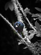 4th Jan 2021 - Tui in the dark