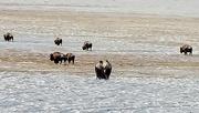 3rd Jan 2021 - Bison