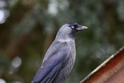 4th Jan 2021 - Jackie Jackdaw