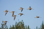 4th Jan 2021 - Godwits arriving