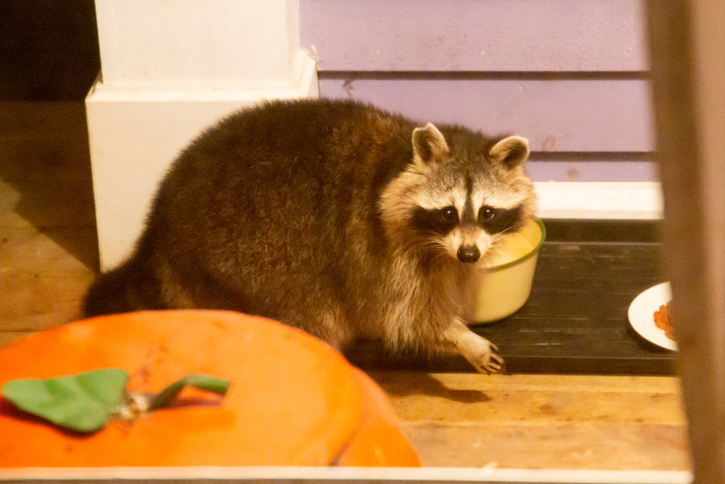First raccoon sighting by pamknowler