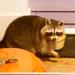 First raccoon sighting