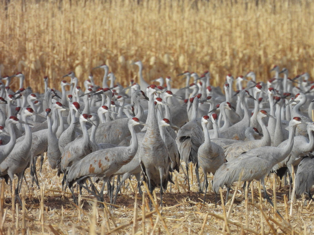 Cranes Everywhere by janeandcharlie