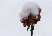 4th Jan 2021 - Snow on a rose