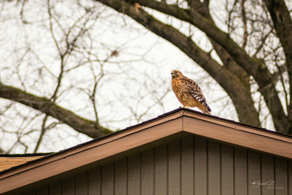 Red-shouldered Hawk by janetb