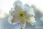 4th Jan 2021 - White Amaryllis