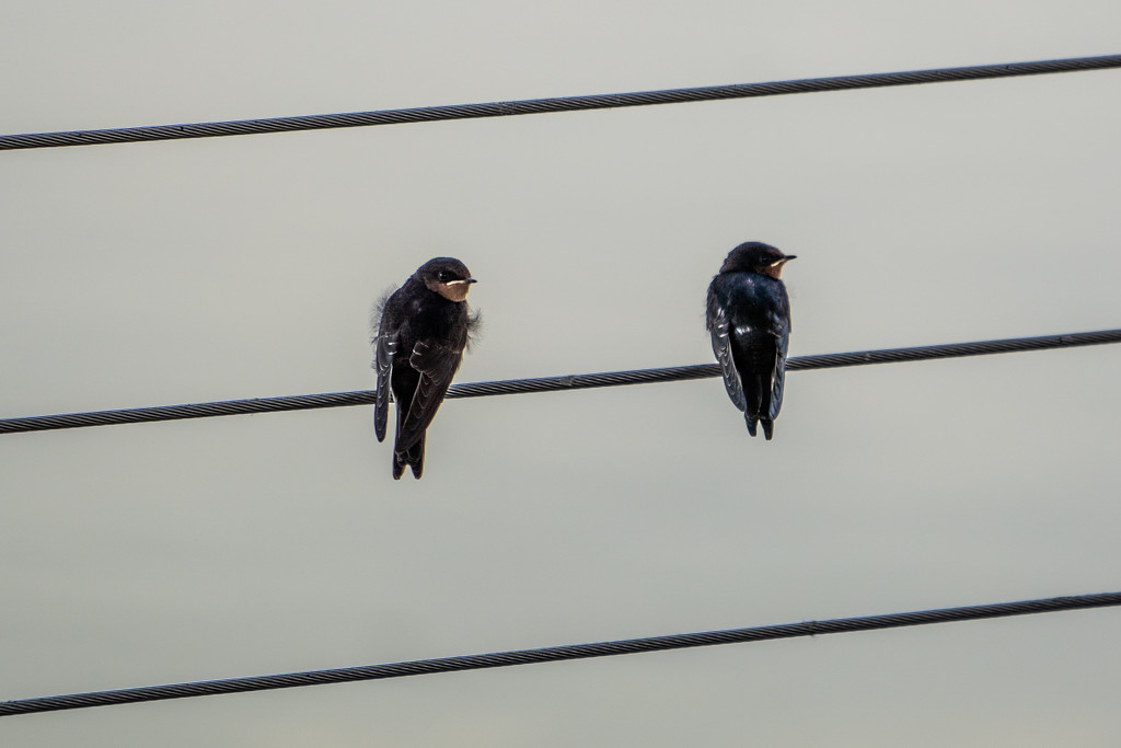 Swallows  by sugarmuser