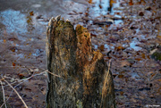 4th Jan 2021 - Tree stump in a pond