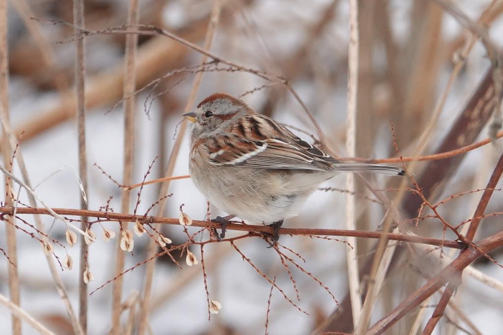 American Tree Sparrow by annepann