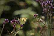 5th Jan 2021 - Cabbage White