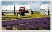 5th Jan 2021 - Lavender Tractor..