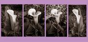 4th Jan 2021 - Calla Lilies