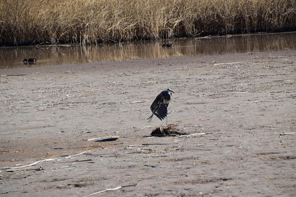 Great Blue Heron Leg Stretch.  by bigdad