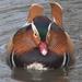 Exotic Duck by 30pics4jackiesdiamond