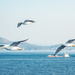 Birds of the Aegean Islands
