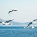 Birds of the Aegean Islands