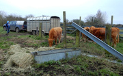 5th Jan 2021 - Cows on the move