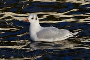 5th Jan 2021 - BLACK HEADED GULL