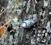 5th Jan 2021 - White breasted nuthatch
