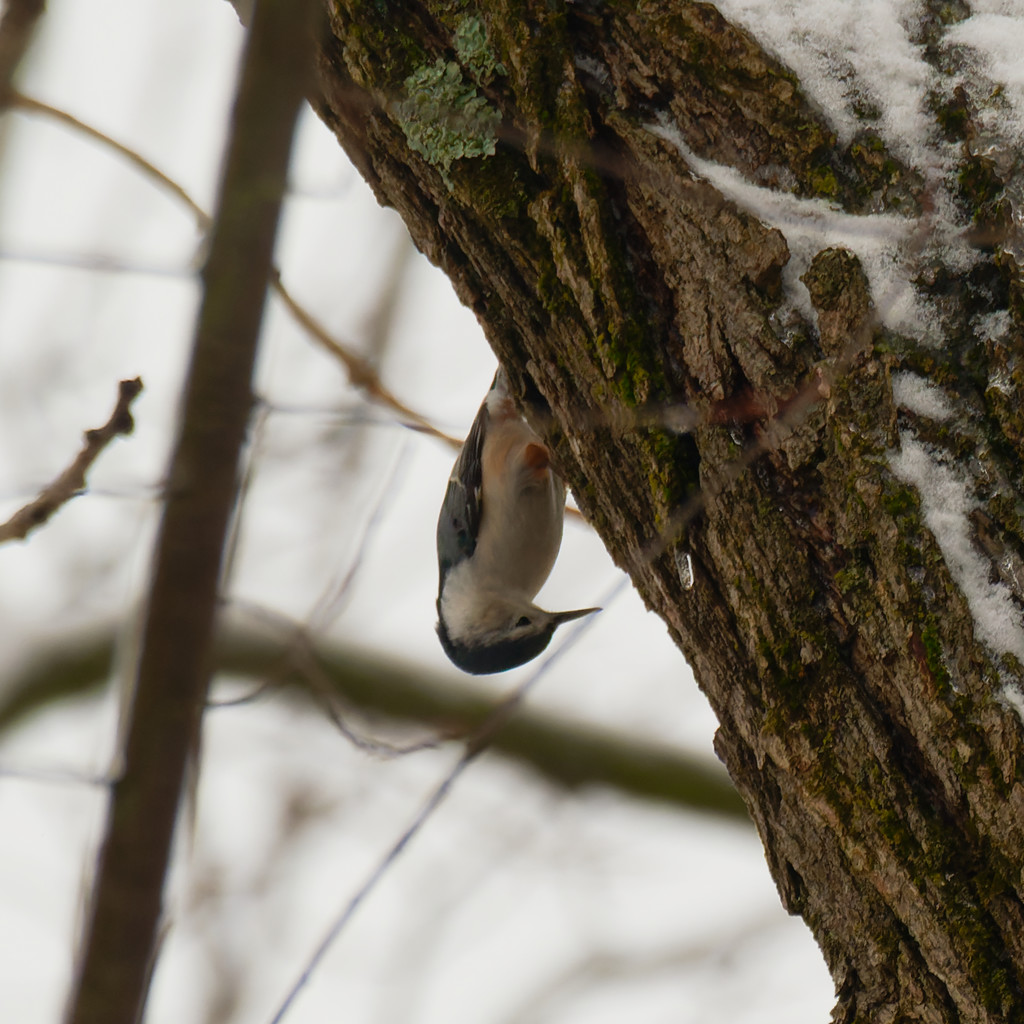 White-breasted nuthatch in a tree by rminer