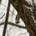White-breasted nuthatch in a tree