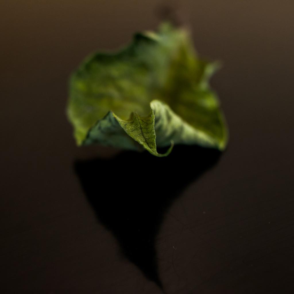 Poinsettia by jetr