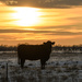 Cow in the Snow and Sunset