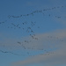 The Snow Geese are Coming