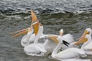 5th Jan 2021 - LHG-9057- White Pelicans It`s MINE