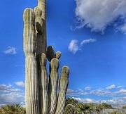 5th Jan 2021 - Saguaro Cactus