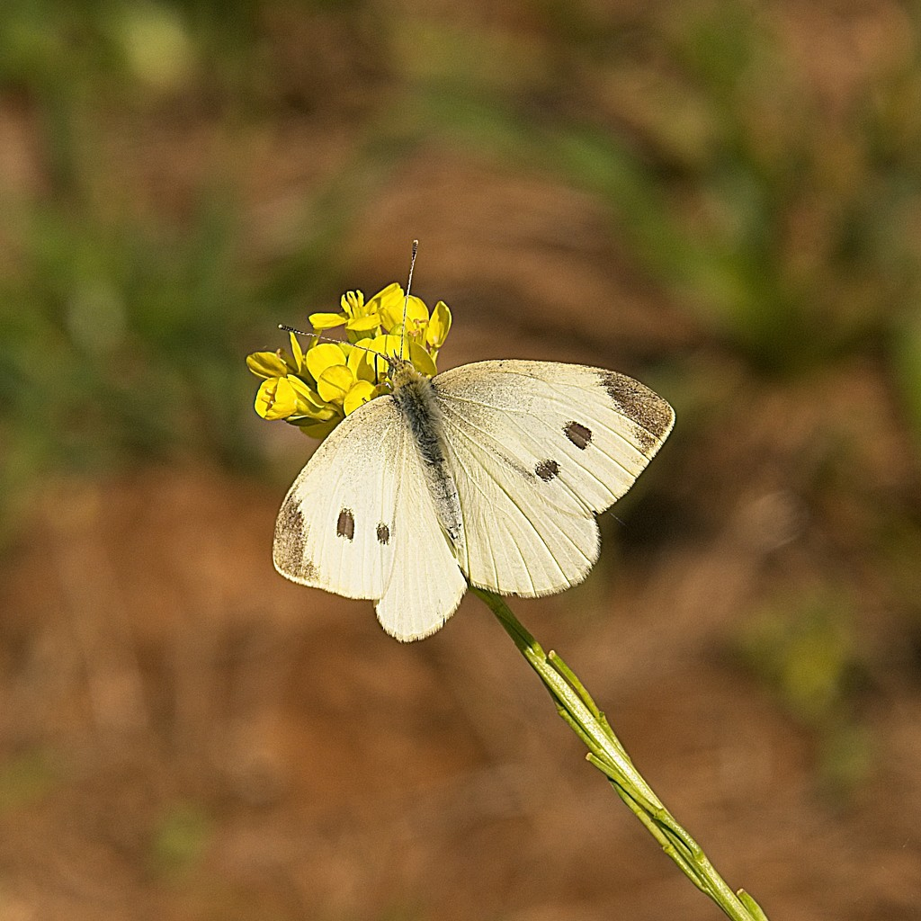 White butterfly or moth by fr1da