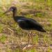 Abdims Stork
