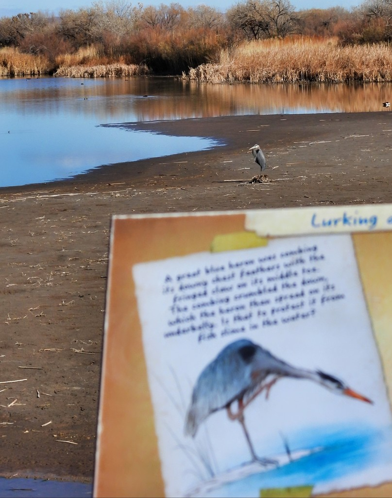 Great Blue Heron at the Wildlife Preserve by janeandcharlie