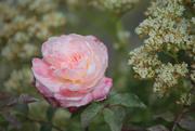 5th Jan 2021 - Miniature Rose
