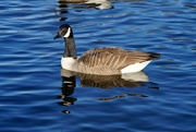 6th Jan 2021 - CANADA GOOSE