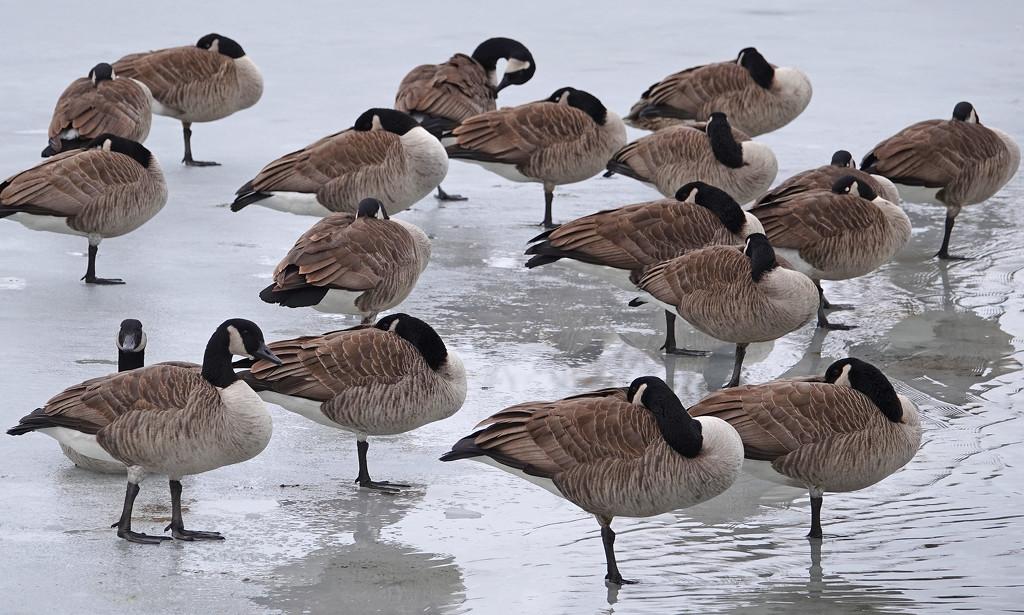 Canada Geese resting by annepann