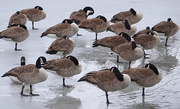 5th Jan 2021 - Canada Geese resting