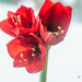Red Amaryllis by elisasaeter